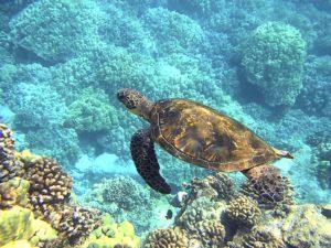 ハワイウミガメ